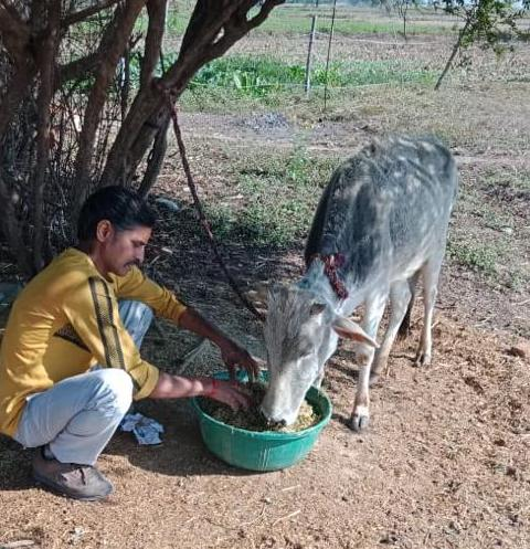 Uday Singh crouching on the ground feeding one of his cows